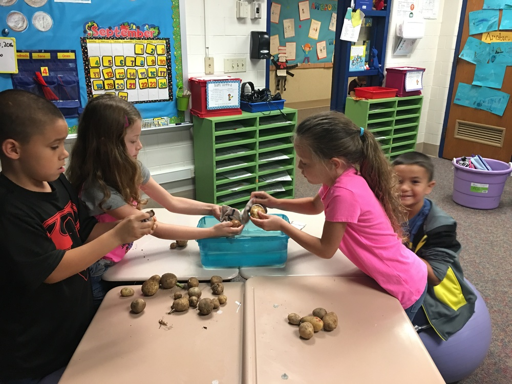 First Grade Potato Investigation!
