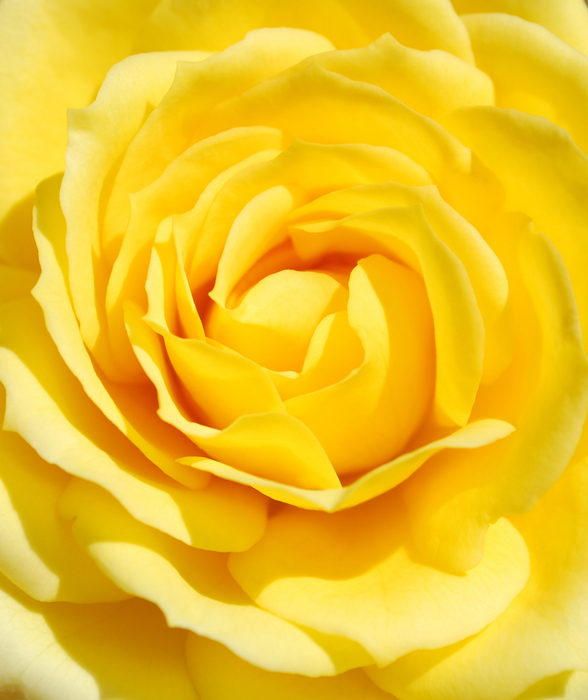 Large_yellow_rose